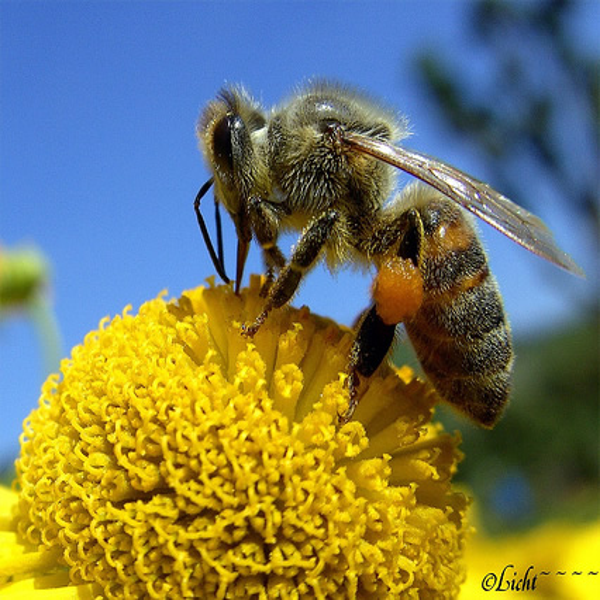 Abeille sur fleur jaune macro