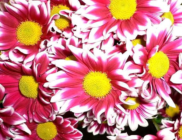 Fleurs jaunes et roses éclatantes