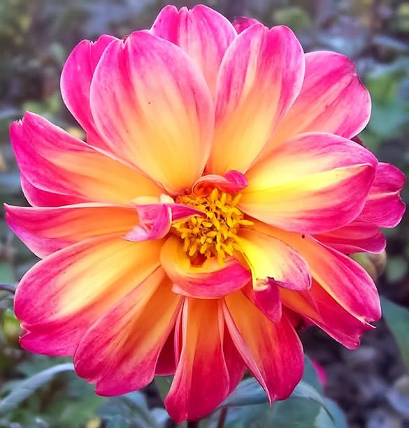 Superbe chrysanthème rose et jaune