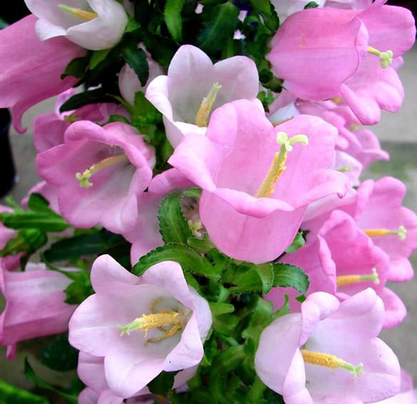 Campanules roses
