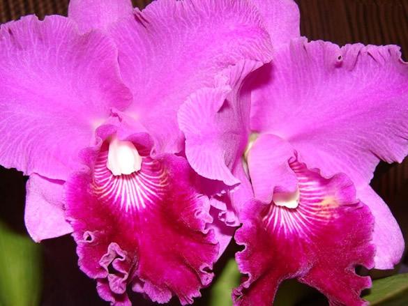 Orchidées violettes