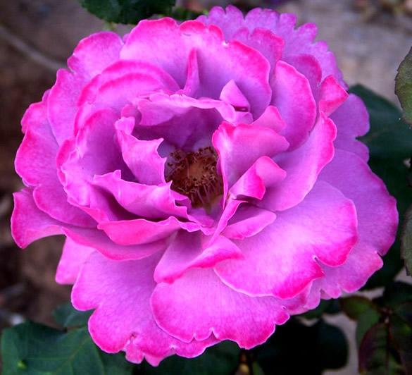 Belle fleur mauve