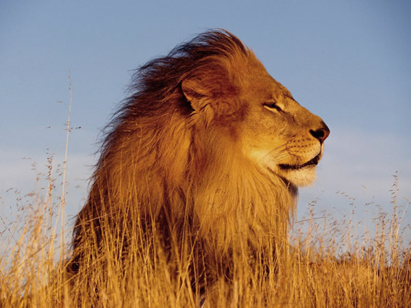 lion majestueux