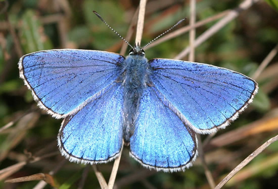 Simple papillon bleu