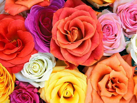 Roses multicolores