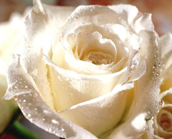 Rose blanche avec outtes de rosée