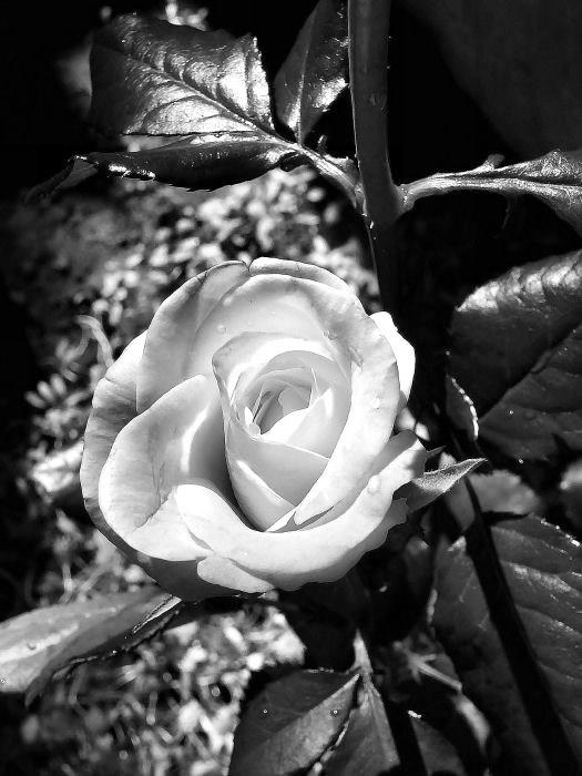 Rose en noir et blanc artistique