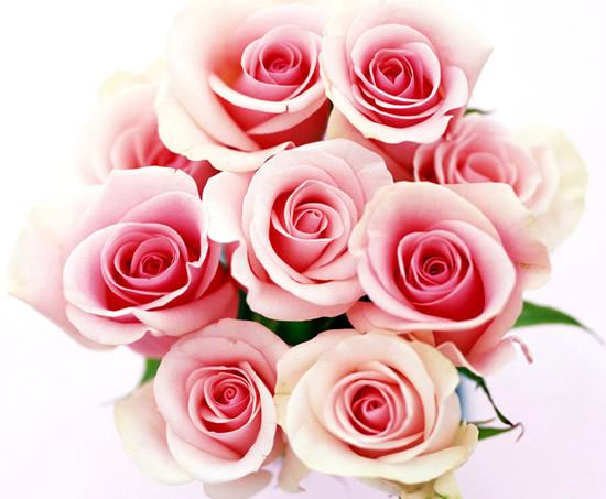 Bouquet de roses sur fond blanc
