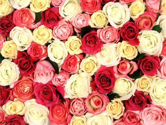 Roses image #2190