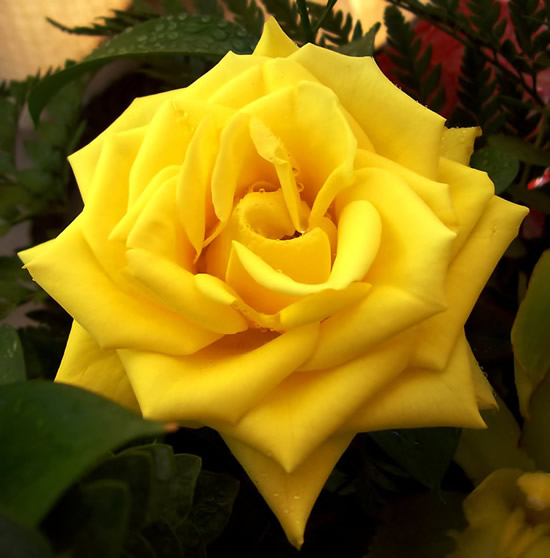 Roses image #2195