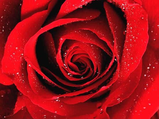 Roses image #2197