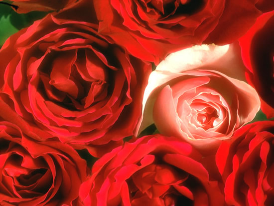 Roses image 12