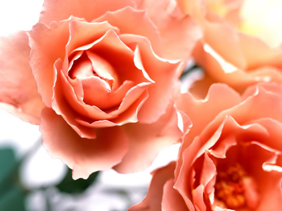 Roses image 9