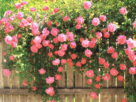 Roses image 13