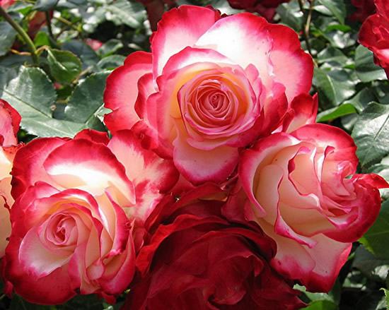 Roses image 15
