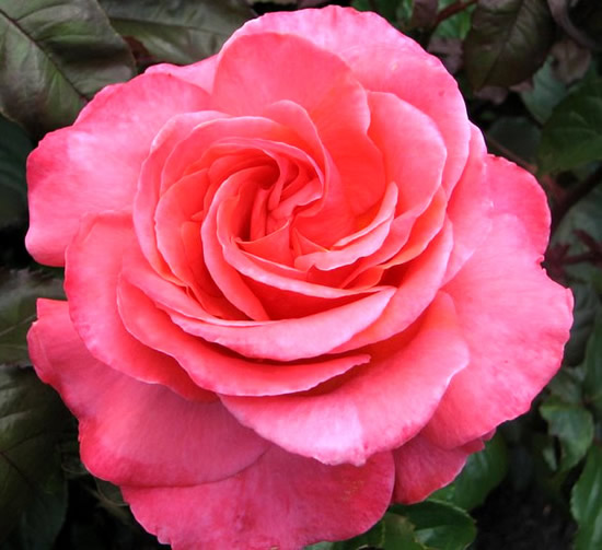 Roses image 10