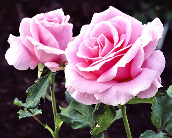 Roses image 14