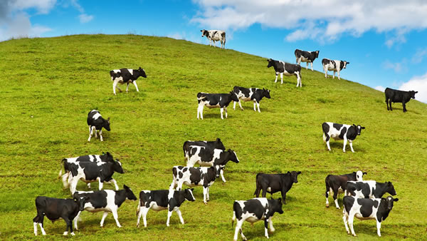 Vaches image 2