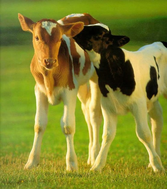 Vaches image 3
