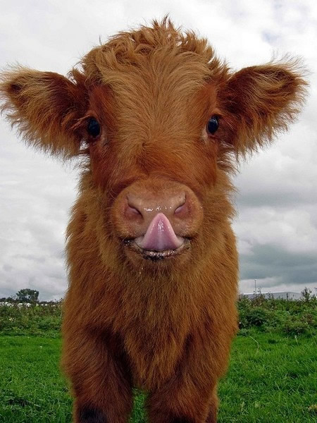 31 vaches images photos et illustrations pour facebook bonnesimages - Photo de vache drole ...